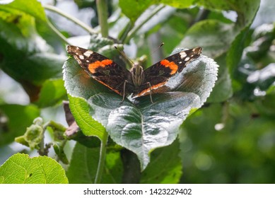 A beautiful colorful tortoiseshell butterfly on a fruit tree leaf