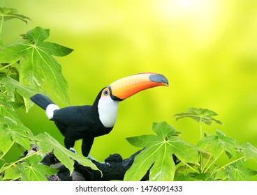 Beautiful colorful toucan bird (Ramphastidae) on a branch in a rainforest. On blurred background of green color
