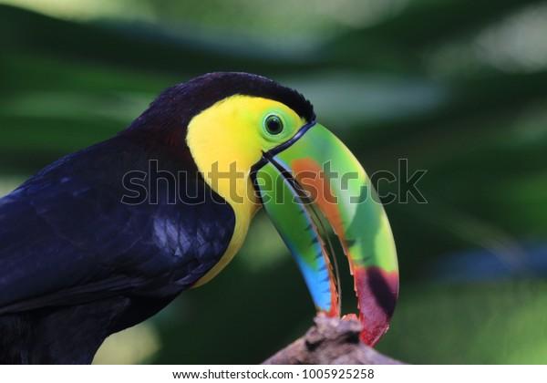 beautiful colorful toucan seen at roatan, honduras