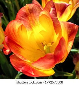 Beautiful and colorful tulip flower called Suncatcher.