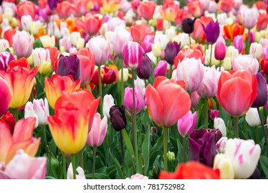 Beautiful colorful tulips in the garden. Netherlands