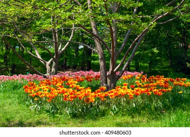 Beautiful colorful tulips in the park on a background of green trees,