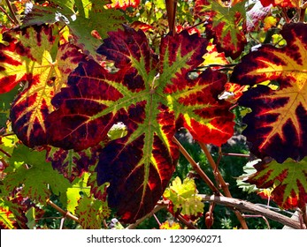 beautiful colorful vine leaves in a vineyard on a sunny day in autumn
