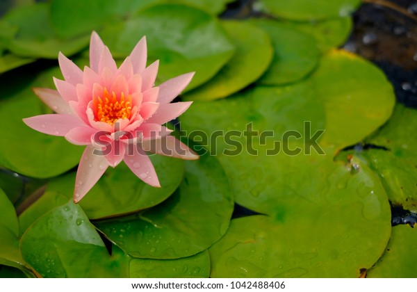 Beautiful colorful waterlily or lotus flower with green leaf and water background