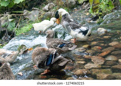 Beautiful colorful wild duck (Anas, Anseriformes, Mallard) waterbird in the waters of the lake with rocks outdoor. Kleptuza lake, Velingrad, Bulgaria. Natural scene, wildlife.