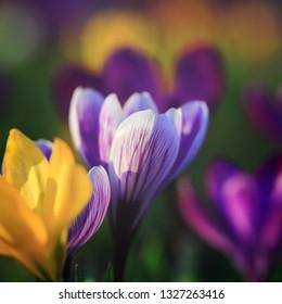 Beautiful  Colorful Yellow, Violet, Purple Blooming Fresh Crocuses in Spring