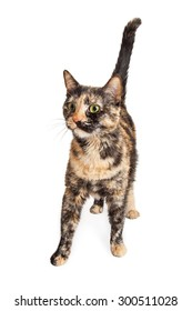 Beautiful and colorful young tortie cat walking forward on a white background