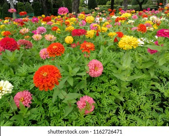 Beautiful colorful zinnia elegans flowers, zinnia a genus of plants of sunflower tribe within the Daisy family. Red, pink, orange, white and yellow flowers blossom in the park