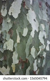 Beautiful coloring of the bark of the sycamore tree in Sochi