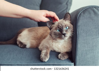 Beautiful colorpoint blue-eyed cat lying on couch sofa. Owner petting touching fluffy hairy domestic pet with blue eyes. Cute adorable feline kitten is stroked by man hand. Person eases stress