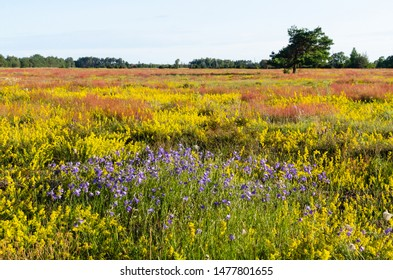 Beautiful colors by summertime in a swedish nature reserve at Gardby Sandhed on the island Oland
