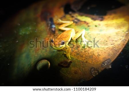 beautiful-colors-male-hourglass-treefrog
