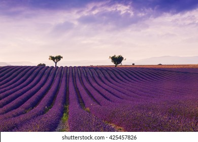Beautiful colors purple lavender fields near Valensole, Provence in France,Europe