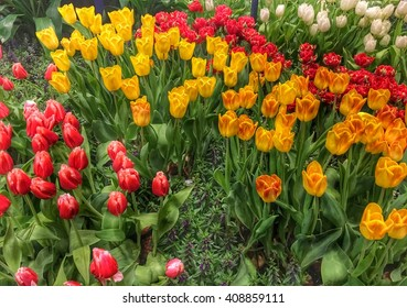 The beautiful colors of Tulips