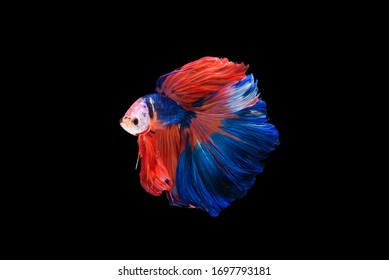 """Beautiful colors""""Halfmoon Betta"""" capture the moving moment beautiful of Blue and red Fighting fish siam betta fish in thailand on black background"""