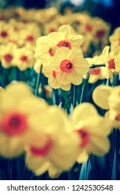 Beautiful colorufl yellow jonquils flowers bloom in spring garden.Decorative wallpaper with narcissus jonquilla flower blossom in springtime.Instagram film filter