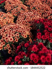 Beautiful and colourful fresh autumn chrysanthemums in red, yellow, purple, white, orange and pink bouquets