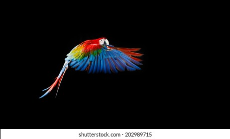 Beautiful colourful parrot, Flying Ara on a dark background