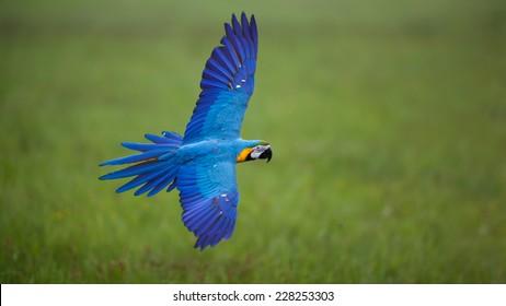 Beautiful colourful parrot in free flight, Blue and Yellow Macaw, Ara Ararauna, flying macaw, beautiful bird