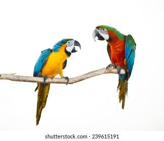 Schöne farbenfrohe Papageien auf der Terrasse. Blaue, weiße, rote, orangefarbene und gelbe Macaws. Ara Ararauna. Schöne Vögel. Weißer Hintergrund. Nahaufnahme von hübschem Lorikeet.