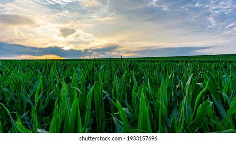 Beautiful and colourful sunset scenery in rural countryside environment over the green cornfield with the breathtaking sky in the background while the sun is shining. Natural landscape environment.