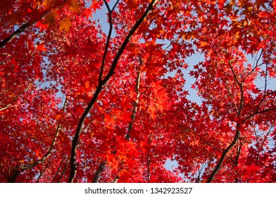 Beautiful colours of japanese momiji maple trees in Tofukuji temple in the south of Higashiyama district of Kyoto