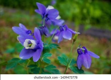 Beautiful Columbine (Dwarf fan-shape columbine) Flowers.