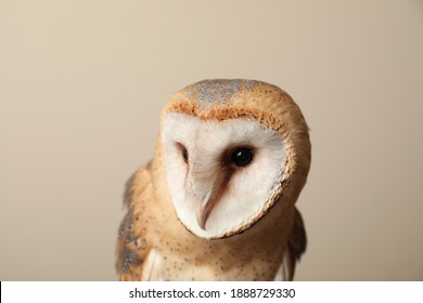 Beautiful common barn owl on beige background, closeup