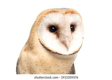 Beautiful common barn owl on white background, closeup