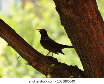 Beautiful common blackbird on the Tree