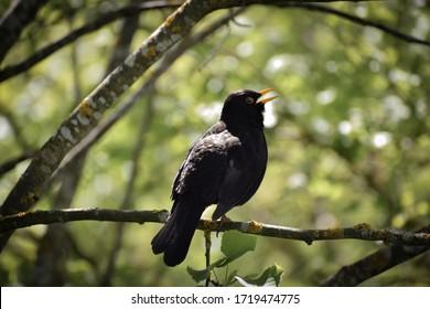 Beautiful common blackbird singing in the tree