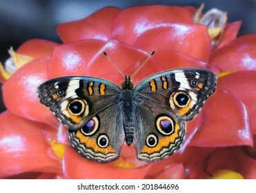 Beautiful Common Buckeye Butterfly on Torch Ginger Flower.