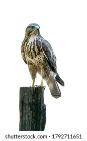 A beautiful Common Buzzard (Buteo buteo) sitting on a fence post at a pasture looking for prey. Noord Brabant in the Netherlands. Isolated white background. High Key.