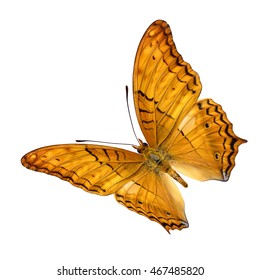 Beautiful Common Cruiser butterfly upper wing profile flying up isolate on white background.(Vindula erota)