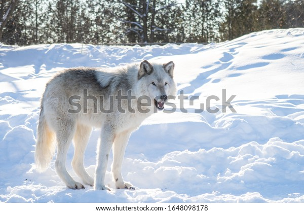 Beautiful common grey wolf standing with grace in the snow