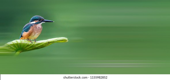 Beautiful Common Kingfisher