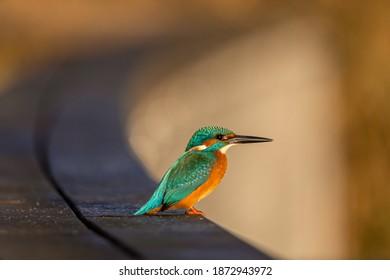 Beautiful Common Kingfisher sitting and watching