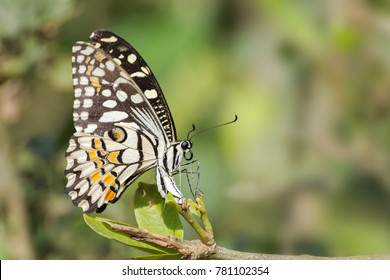 A beautiful common lime butterfly (Papilio demoleus) is laying eggs under the green leaf, a rare close up side view in blurred green background with beautiful pattern, West Bengal, India