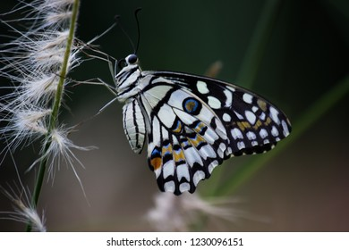 Beautiful common lime butterfly sitting on the flower plants with a nice soft background.