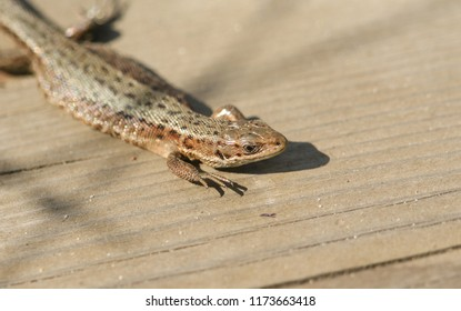 A beautiful Common Lizard (Lacerta Zootoca vivipara) warming up on a wooden walkway before hunting for insects.