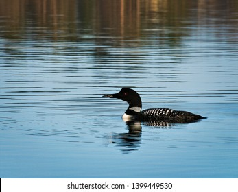 Beautiful Common Loon or great northern diver - Gavia immer - Minnesota State Bird swimming in a lake in Bemidji.