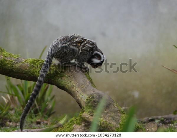 beautiful-common-marmoset-posing-on-600w