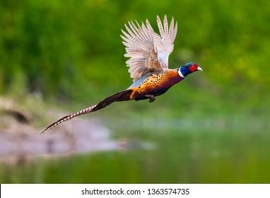 Beautiful Common Pheasant
