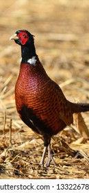beautiful common pheasant in its habita