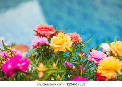 Beautiful common purslane flower in fresh garden on background. Selective focus