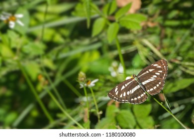 A beautiful Common Sailer butterfly (Neptis hylas) is seated on the flower by spreading its wings, close up top view of open wings in a abstract green backgrounds, Borong, Sikkim, India
