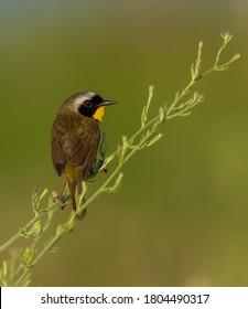 Beautiful Common Yellowthroat at New Jersey, United States