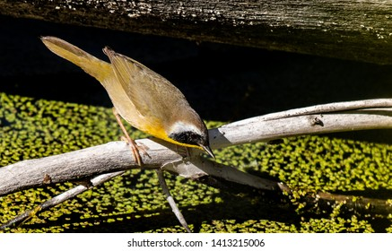 A Beautiful Common Yellowthroat Searching the Water's Edge for Food