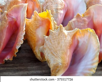 Beautiful Conch Shells and Pink Conch Shells.