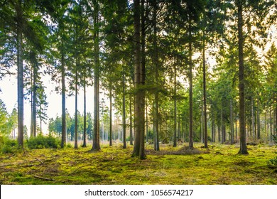 Beautiful coniferous forest during sunrise with mature spruce and natural surface of green mosses with natural regeneration of spruce trees